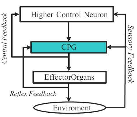 central pattern generator en español central pattern generators central pattern generator neurons