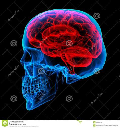 brain x human brain x royalty free stock photos image 35585738