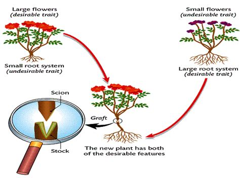 scion plant definition asexual reproduction at galloway township middle school