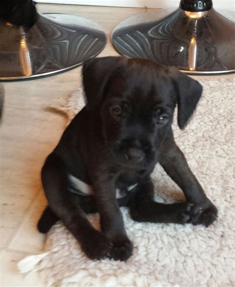 patterdale terrier puppies for sale patterdale terrier breeders breeds picture