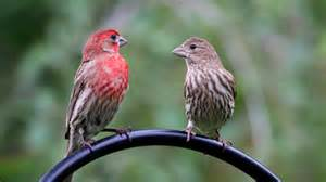 house finch photography