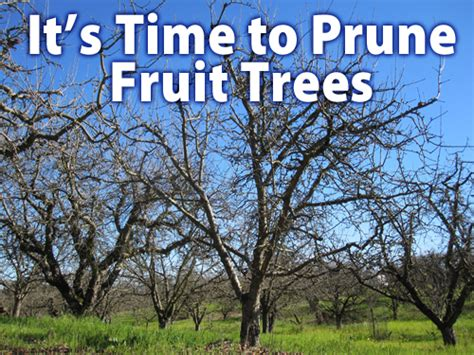how do you prune fruit trees sonoma county nurseries resource guide 187 february is time