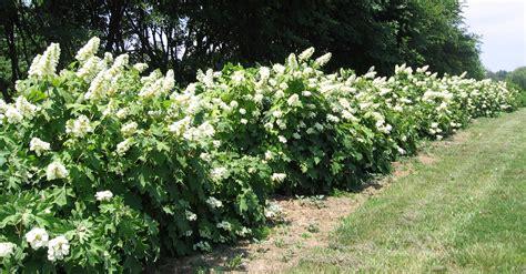 Natural Landscapes Nursery Oakleaf Hydrangea Oak Leaf Hydrangeas In Winter