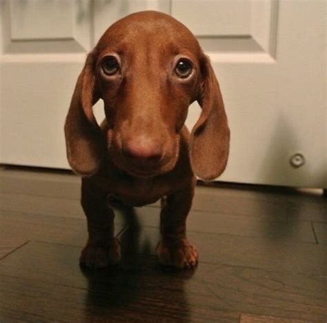 dachshund puppy names the absolute 10 best mini dachshund names page 2 of 5 the dachshund report