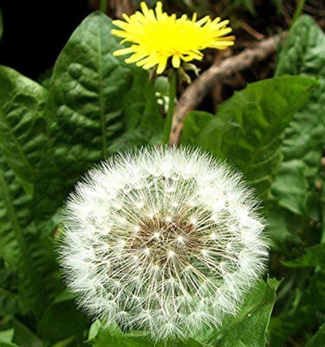 wallpaper bunga dendelion tanaman dandelion bibitbunga com