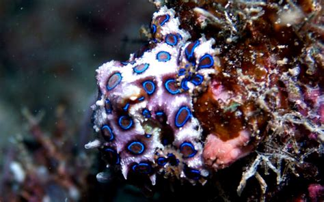 wallpaper blue ring blue ringed octopus hd wallpapers wallpapers box