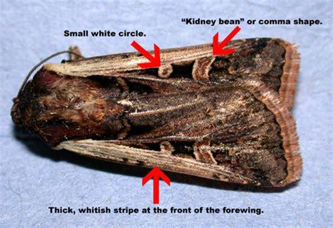 western bean cutworm pests corn integrated pest