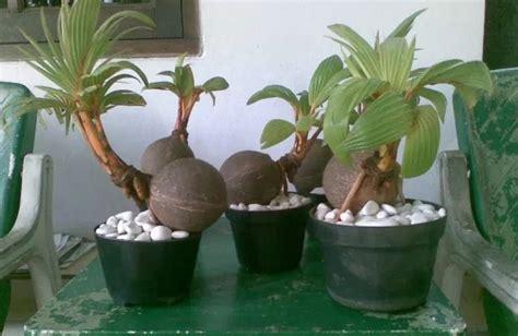 mudah membuat bonsai kelapa bagi pemula flora  fauna