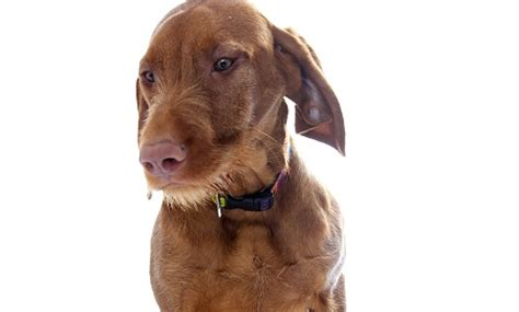heartworm disease in dogs heartworm disease in dogs vca animal hospital