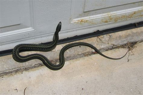 how to get snake out of house blog archives dnsposts