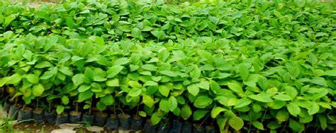 Jual Bibit Okra jual bibit tanaman unggul harga murah telpon 08121519338