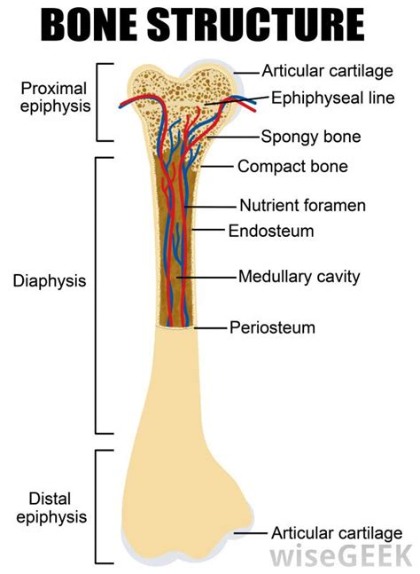 bone setter definition what is a diaphyseal fracture with pictures
