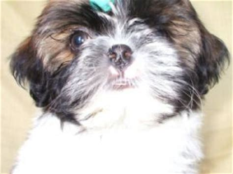 shih tzu breeders in arkansas shih tzu puppies in arkansas