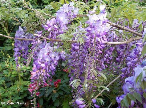 chinese wisteria wisteria sinensis wisteria sinensis chinese wisteria seeds