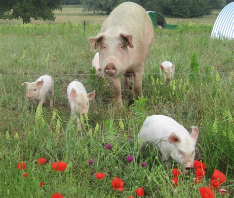 how to become a breeder how to become a pig farmer pigs for dalehead foods