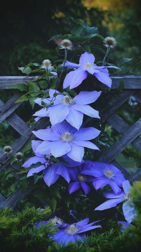 gardening by nanna let s ponder this idea books clematis periwinkle blue and the winter on