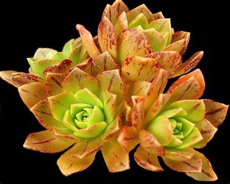 aeonium bronze medal surreal succulents