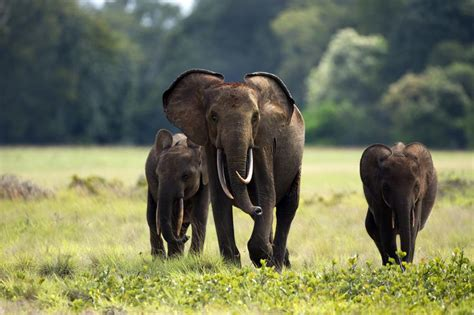an forest elephant returns from the in gabon 119 best images about afrique benin et gabon on tanzania and congo