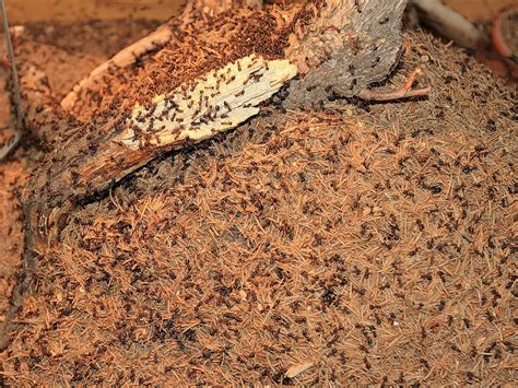 ameisennest im haus ameisen carla kemmerling sch