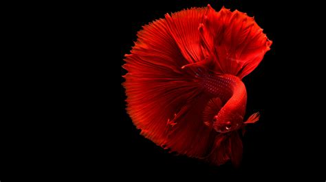 wallpaper redfish underwater  animals