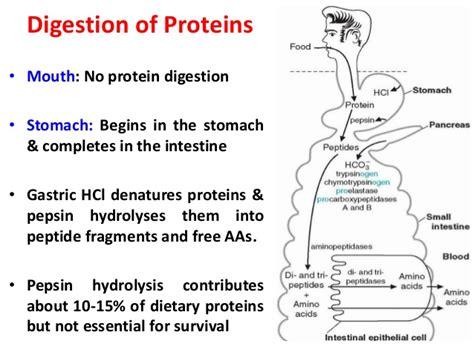 protein digestion begins in the digestion biochemistry