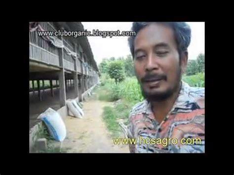 Cacing Hcs padi tanpa pupuk kimia doovi