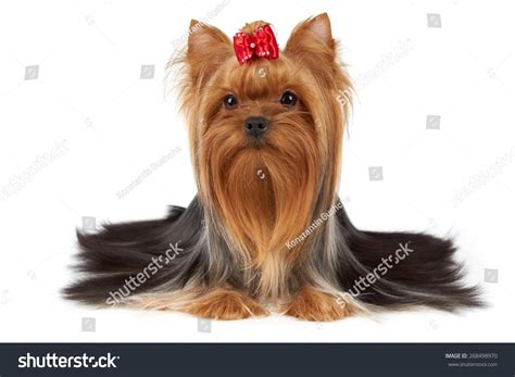 yorkie rear end with long hair pictures one purebred yorkshire terrier beautiful long stock photo