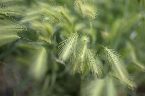 canada wild rye plant care growing guide