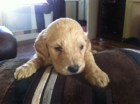 Fl Goldendoodles Goldendoodles For Sale