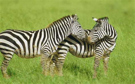 Most Cute And Dashing Zebra Wallpapers In HD - Wallpapers ...