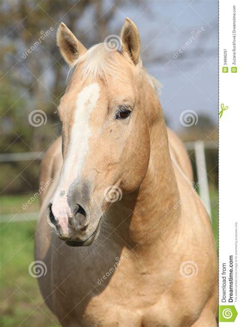 nice hourse nice palomino horse looking at you royalty free stock