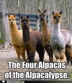 Alpaca Sheep Meme - 1000 images about alpaca humor on pinterest alpacas