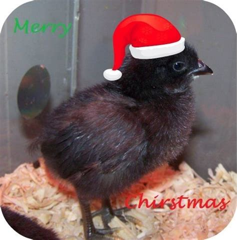 christmas chicken images reverse search