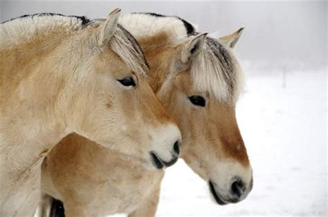 fjord horse facts fjord horse gallop to discover