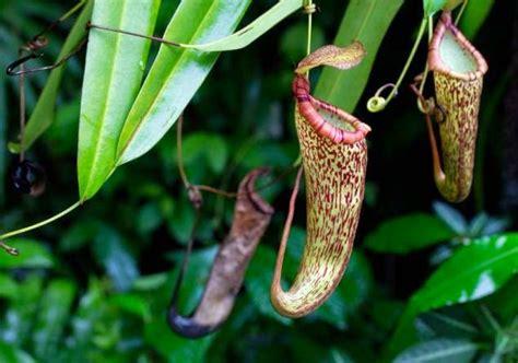 Kantong Semar manfaat dan khasiat kantong semar tanaman herbal