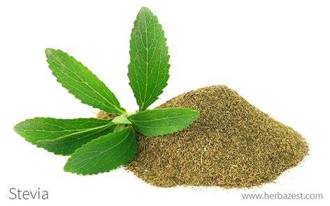 Plante De Stevia by Stevia Herbazest