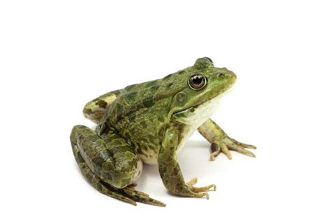 how to get rid of frogs in backyard how to find a frog in your backyard 28 images how to