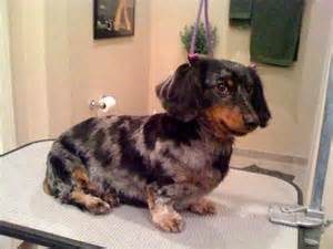 grooming of haired dachshund images