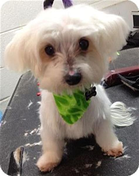 maltese in chinese bailey adopted dog madison heights mi maltese