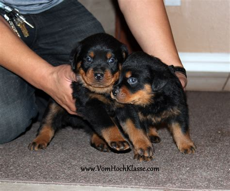 german rottweiler kennels pin graman rottweiler puppies for sale in harvey louisiana on
