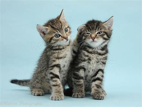 Blee Cat 2 two tabby kittens on blue background photo wp37816