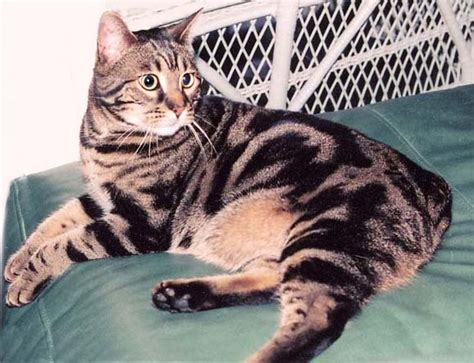 cat mix bengal cat one of the world s most expensive cat inspirationseek