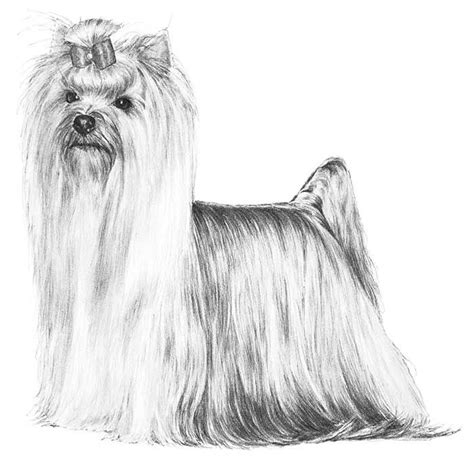 yorkie rear end with long hair pictures 158 best dog show standards images on pinterest dog