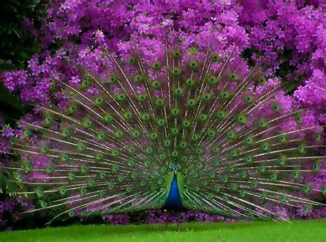 open feathers peacock 孔雀 pinterest