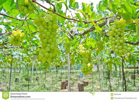 Grape Garden by Green Grape Garden Royalty Free Stock Photos Image 32861268
