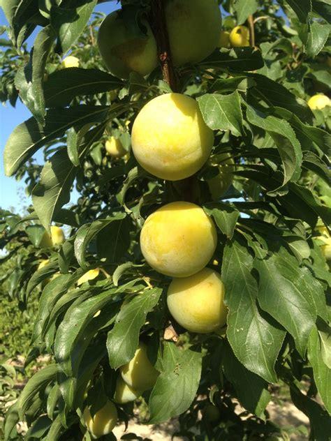 japanese plum tree viveros hernandorena