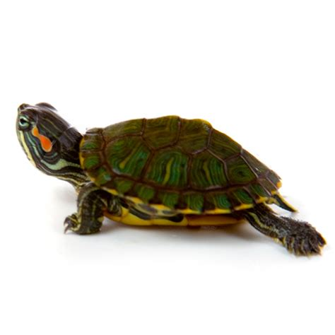 Kura Yellow Belly baby ear slider turtle myturtlestore
