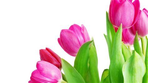 imagenes de rosas verdes hd fondos de pantalla tyulpanchiki hojas verdes fondo