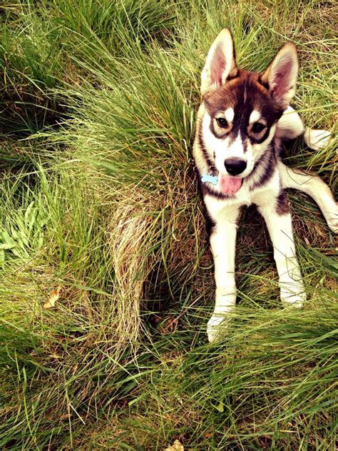 agouti husky puppies for sale siberian husky puppies for sale breeds picture