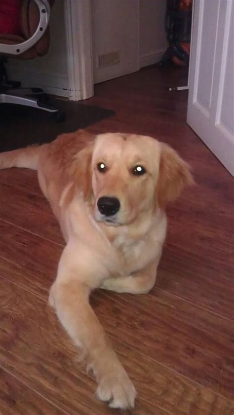 4 year golden retriever loving 2 year golden retriever kc reg lincoln lincolnshire pets4homes